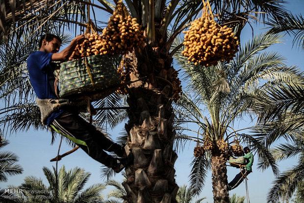 İran'da Hurma hasadı