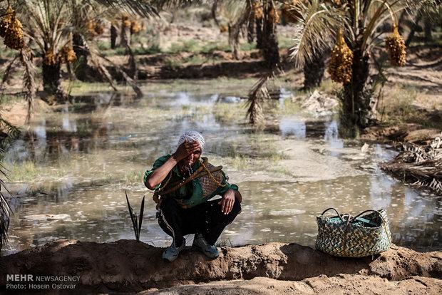 بدء موسم جني الثمار في خوزستان/ فيديو