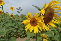 مزارع گل آفتابگردان در دشت های کالپوش میامی
