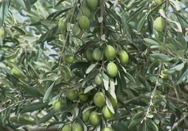 هشدار وزارت جهاد به باغداران/احتمال طغیان آفت مگس زیتون در باغات