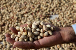 Iran produces canned pistachio with herbal preservatives