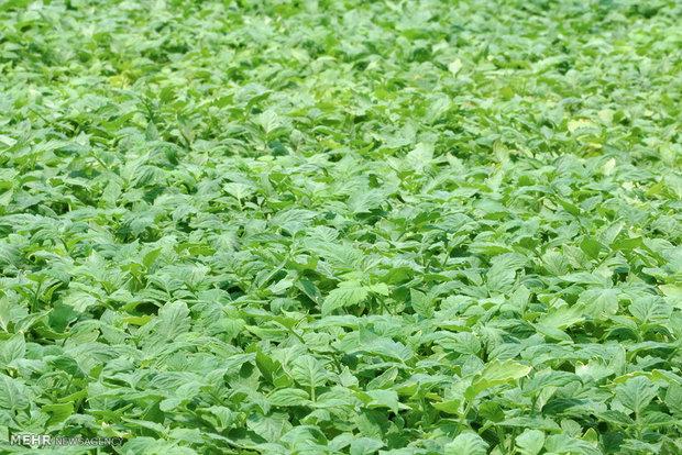 مجتمع تولید نشاء محصولات کشاورزی