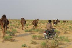 مزارع خارشتر بیارجمند پایلوت طرح توسعه اکولوژیک شتر کشور شد