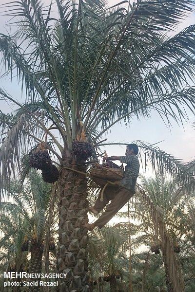 نخلستان برداشت خرما استان بوشهر