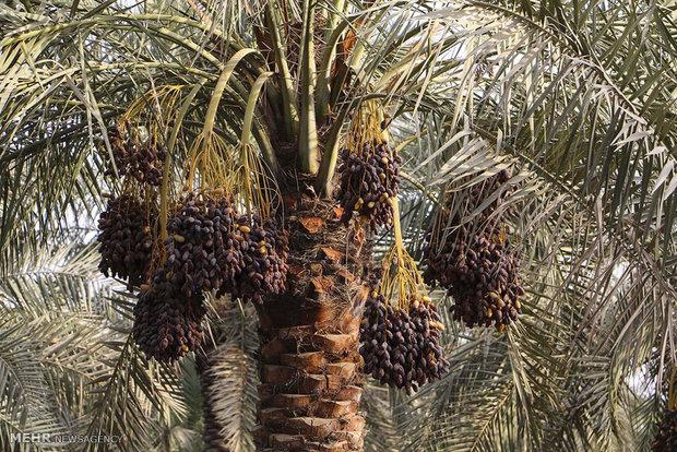 برداشت خرما در روستا کوت سید صالح استان خوزستان