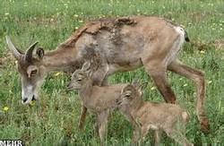 Rinderpest takes tolls on wild goats in Zanjan