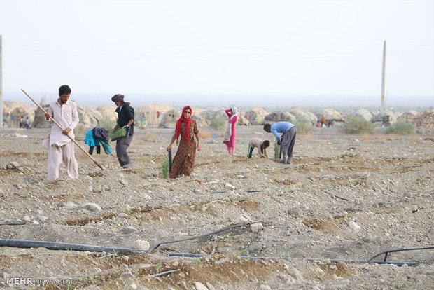 زراعة الطماطم في ايران