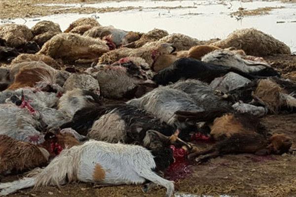 تلف شدن ۲۵۰ گوسفند با آب مسموم در مرودشت