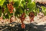 طرح «فراز باغات انگور» در زنجان انجام می شود