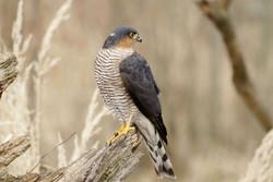 ۸ پرنده شکاری «دلیجه» و  ۸۰ مرغ مینا در اصفهان کشف شد