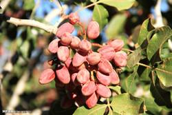 برداشت محصول پسته و فراوری در سیرجان روستای دارستان  خورتن