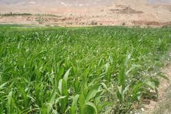 تولید سالانه ۲۵۰ تن علوفه دامی در مهدیشهر پیشبینی میشود
