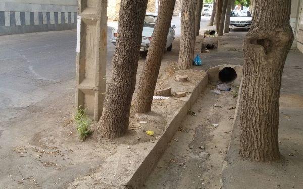 توسعه نفس درختان گلپایگان را گرفت/جدال ریشه ها و آسفالت