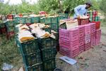 رشد ٢٠ درصدی تولید مرکبات/ نیازی به واردات سیب درختی نداریم