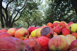 مراکز جمع آوری سیب زیردرختی در آذربایجان غربی ساماندهی شود