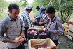 برداشت سیب درختی از باغات سمیرم