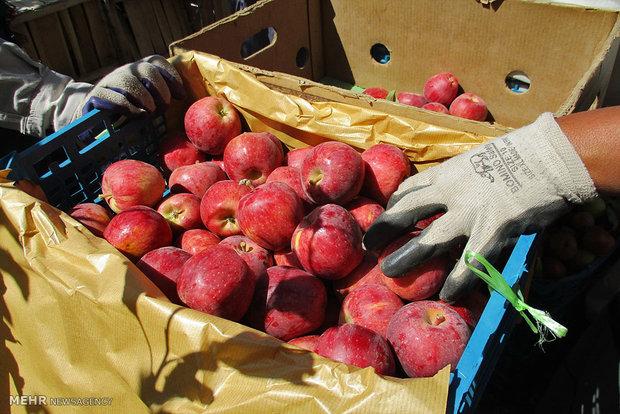 برداشت۵۰ هزار تن سیب در استان سمنان/ وجود نیمی از باغات در شاهرود