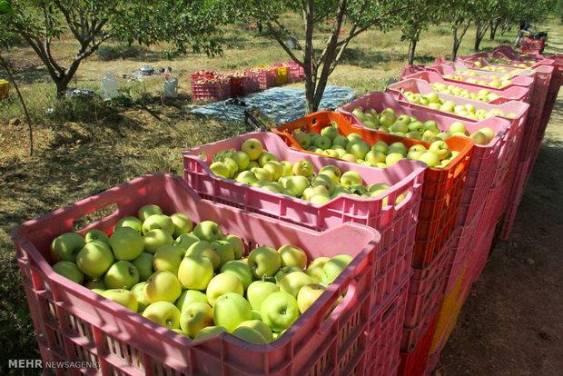 ۲۰۰ هزار تن سیب تابستانه از باغات آذربایجان غربی برداشت می شود