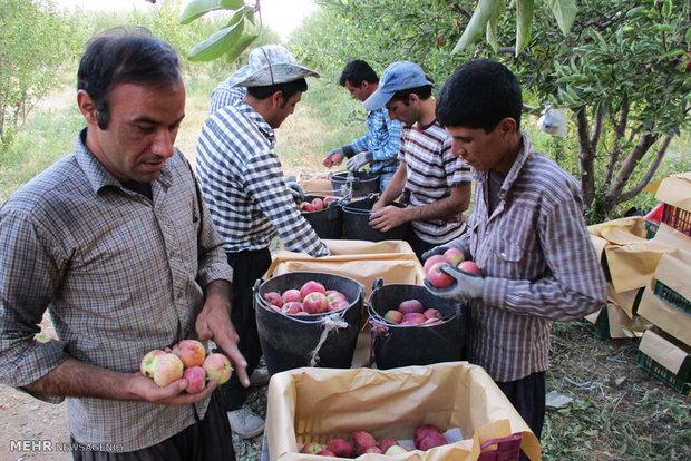 ۶۸ هزار هکتار از باغهای استان همدان بارور هستند