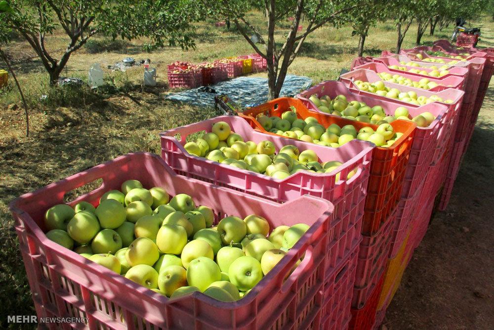 آغاز برداشت سیب از باغات شهرستان بویراحمد