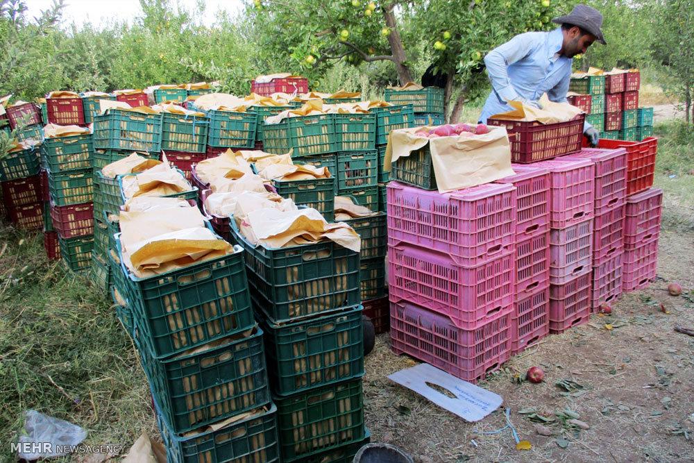 سطح زیر کشت سیب درختی در شهرستان دنا ۲۰۳۵ هکتار است