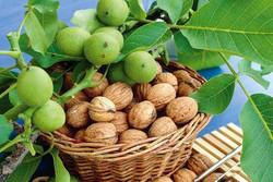 خزان باغهای بافت در فصل برداشت/ دستهای کشاورزان در پوست گردو