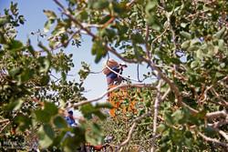 ۲۵ درصد باغات پسته زرند دچار سرمازدگی شدند