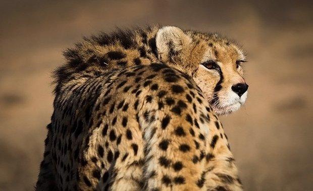 d35521885 Asiatic Cheetah on Iran kit in Iran-Japan friendly match - Mehr News ...