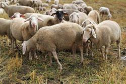 گوسفند چینی