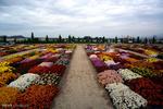 جشنواره گلهای داوودی محلات