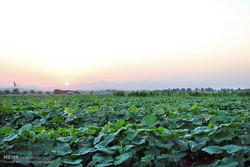 مزارع خیار سبز هشت بندی هرمزگان