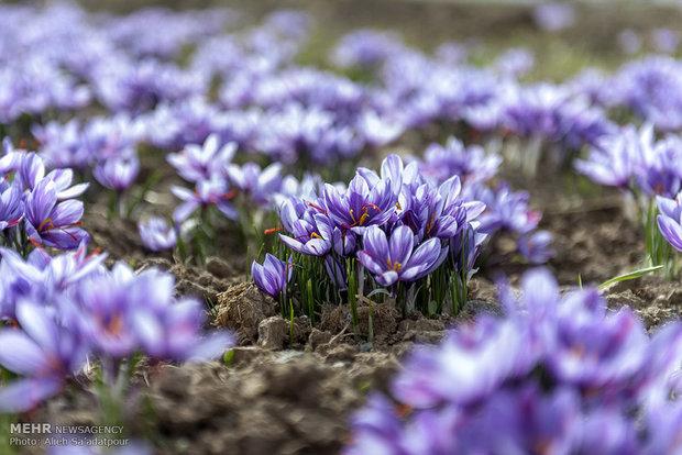 Iran exports $110mn saffron in 10 months