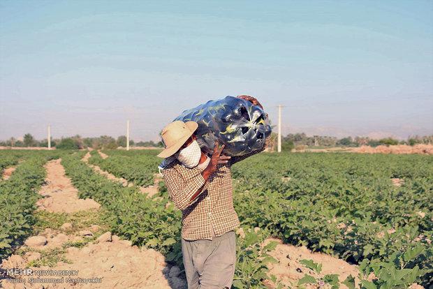 Hürmüzgan eyaletinde patlıcan hasadı