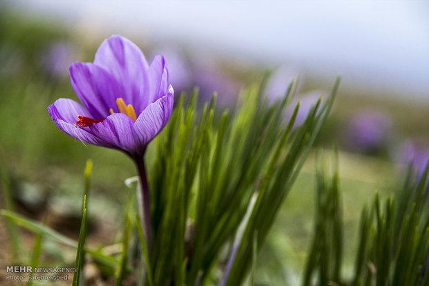 مزرعه زعفران خانم جلالی