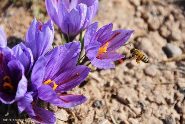 Iran exports $48mn saffron in 3 months