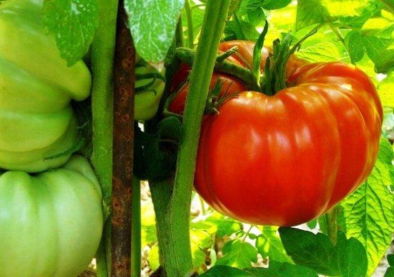 پرورش گوجه فرنگیهای غول پیکری با مهندسی ژنتیک و دانش نانو