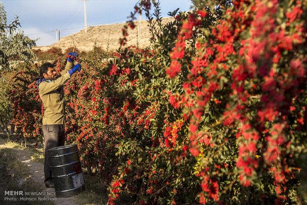 ۶ تن زرشک خشک خراسان جنوبی به ترکیه صادر شد