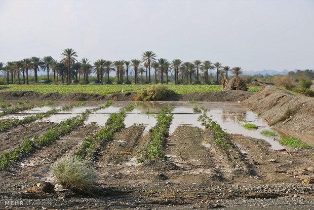 باران نفس کشاورزی شوش را گرفت/ نارضایتی کشاورزان از ستاد بحران