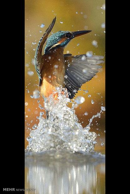طائر الرفراف يصطاد أسماك