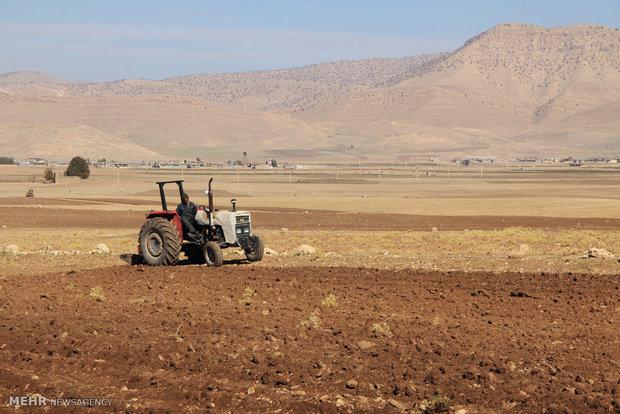 ۸۵ درصد از کشت گندم در استان بوشهر به صورت دیم است