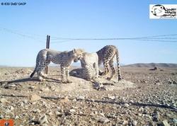 New cub born to Asiatic Cheetah in Miandasht