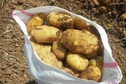 سالانه ۲۰درصد محصول سیب زمینی کشور هدر می رود/ سراب قطب سیب زمینی