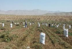 ۳۰ درصد سیب زمینی از اراضی کردستان برداشت شده است