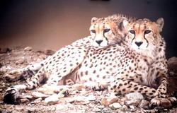 کوشکی و دلبر یوزپلنگ ایرانی