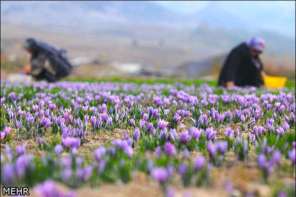 صادرات ۱۱۰ میلیون دلاری زعفران در ۱۰ ماهه امسال