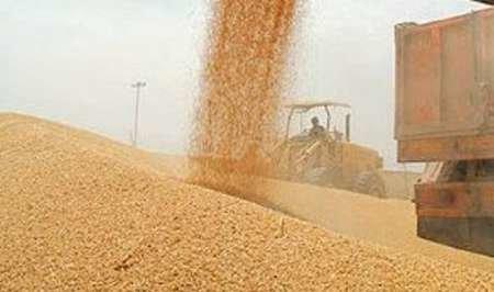 نیازی به واردات گندم در سال۹۵ نیست/ پرداخت یارانه سیبزمینیکاران