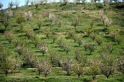 ۲۵۰ هکتار از اراضی کشاورزی شهرقدس به باغات اختصاص دارد