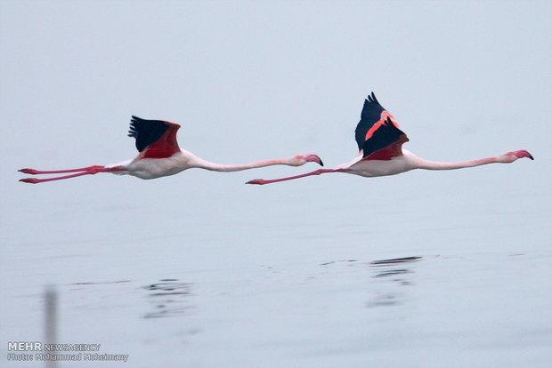 فلامینگوها مهمان دریاچه ارومیه شدند
