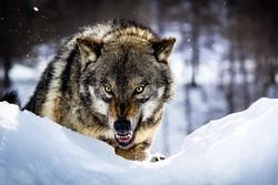 حمله گرگ ها
