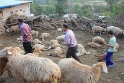 گرگ های گرسنه ۱۳۵ رأس گوسفند را در زیرکوه دریدند